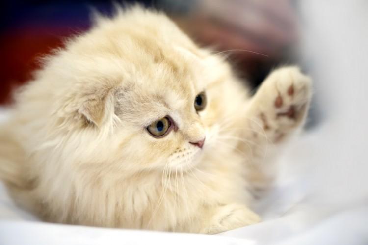初心者でも飼いやすい猫の種類とは?おとなしい性格の猫種5選