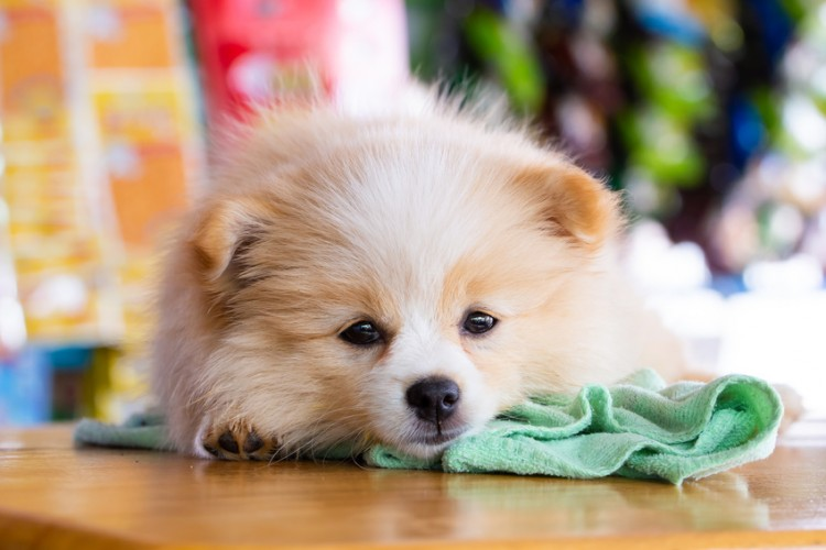 【獣医師執筆】愛犬のくしゃみが止まらない! 犬のくしゃみの原因と考えられる病気|みんなのペットライフ