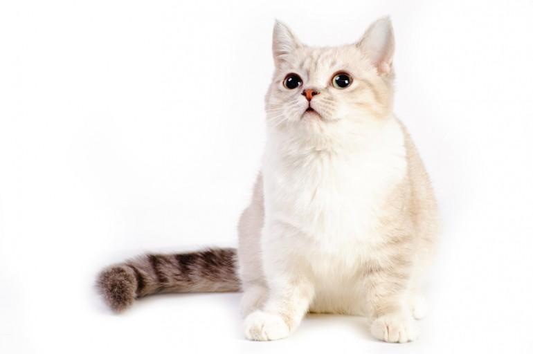 愛らしい見た目で人気のマンチカンですが、誕生から現在までの歴史を紐解いていくと、実はたくさんの謎がある猫なのです。 そんなマンチカンの歴史や、猫種としての