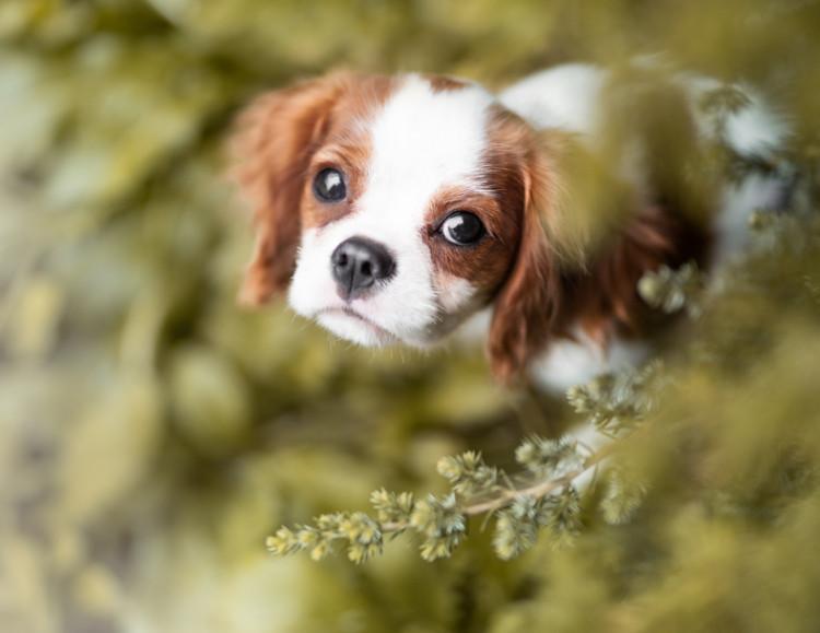 Resultado de imagen para 犬 Cavalier