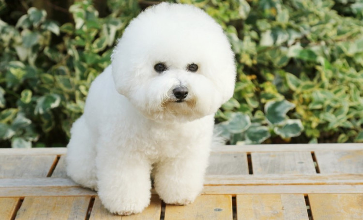ビションフリーゼを徹底解説-ふわふわのアフロ犬! ビション