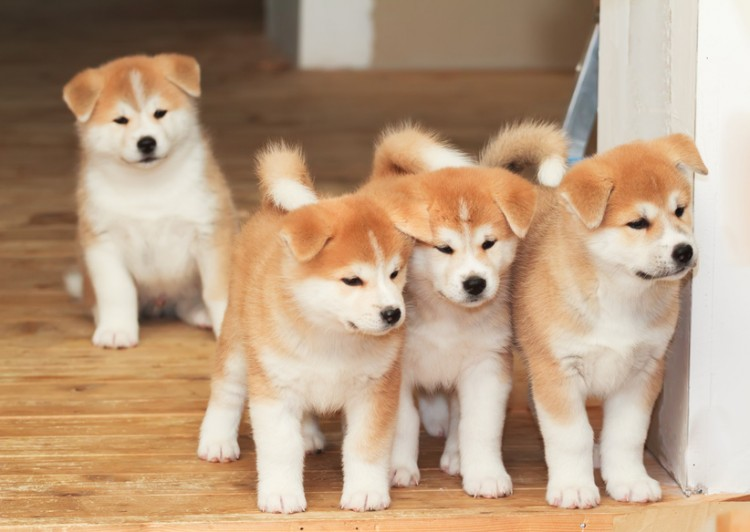 日本の国犬で天然記念物! 秋田犬の歴史や性格、特徴|みんなのペットライフ