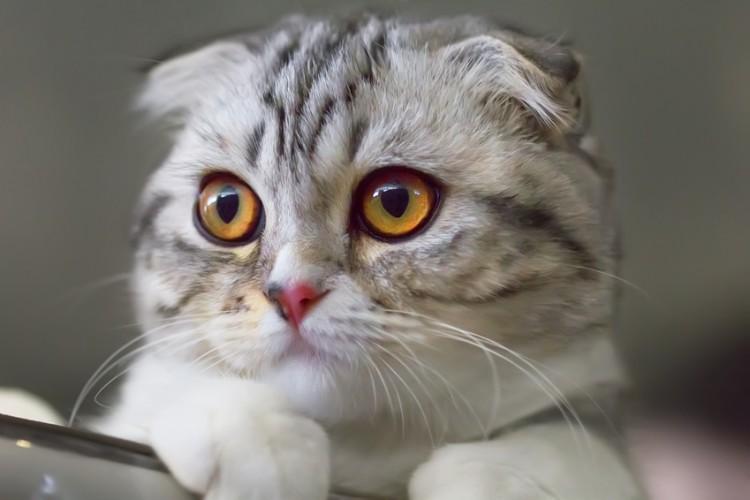 折れ耳の子猫は高くなる? スコティッシュフォールドの値段と