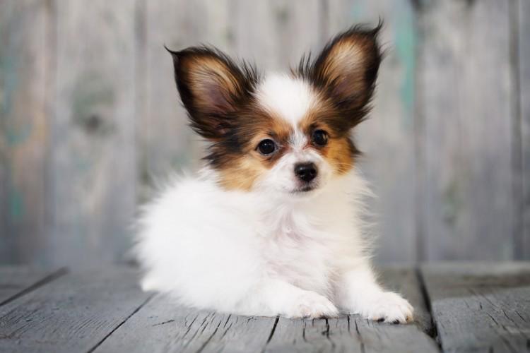 フランス貴族の愛玩犬】パピヨン...