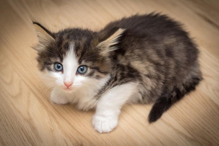 【子猫を育てる】生後1年が分かれ道! もふかわノルウェージャンフォレストキャットの育て方|みんなのペットライフ