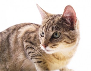 猫 を 飼う メリット
