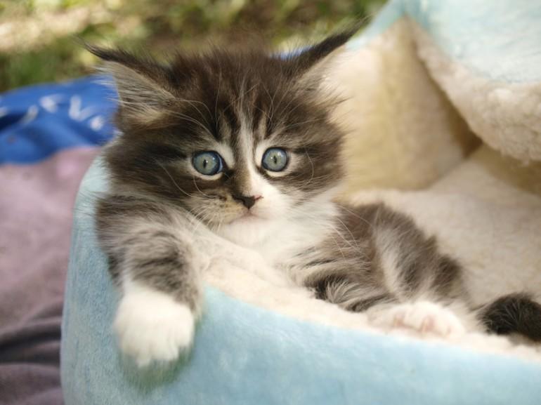 メインクーン 猫 値段