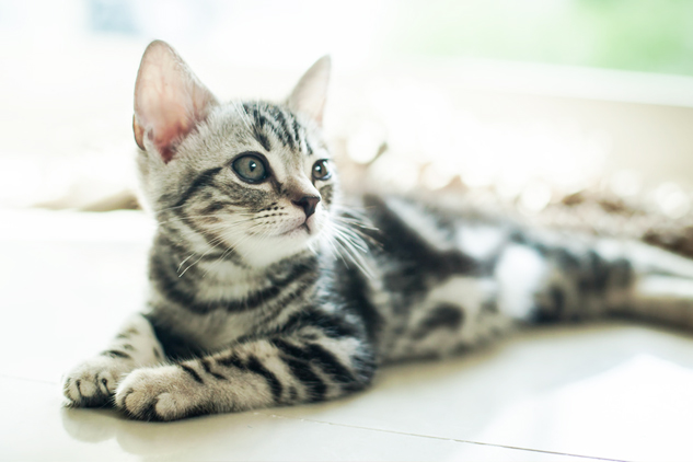 アメショ猫