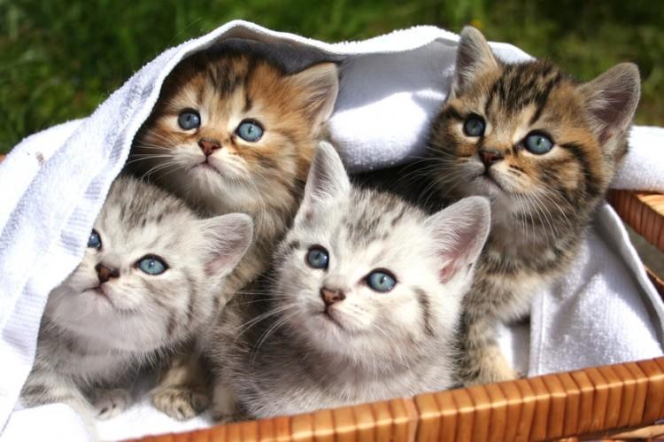 おとなしい 猫 の 種類