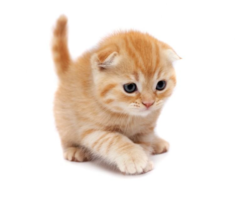 一人暮らしでも猫が飼いたい人におすすめ! スコティッシュフォールドの飼い方|みんなのペットライフ