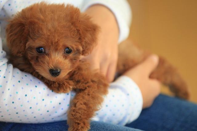 飼い やすい 小型 犬